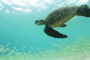 Title: Underwater Turtle Photo Of: stock Type: Sea Life Wildlife