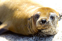 Title: Seal In the Sun Location: Ecuador Photo Of: stock Type: Sea Life Wildlife