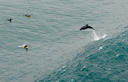 Title: Dolphin Jumping Wave Location: California Photo Of: stock Type: Sea Life Wildlife