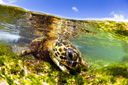 Title: Turtle in Shallow Water Photo Of: stock Type: Sea Life Wildlife