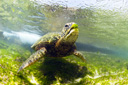 Title: Turtle Under the Surface Photo Of: stock Type: Sea Life Wildlife