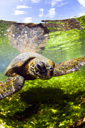 Title: Turtle Swim Photo Of: stock Type: Sea Life Wildlife