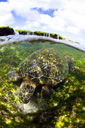 Title: Turtle Blending In Photo Of: stock Type: Sea Life Wildlife