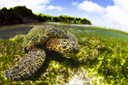 Title: Turtle Landscape Photo Of: stock Type: Sea Life Wildlife
