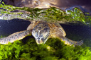 Title: Turtle Underwater Photo Of: stock Type: Sea Life Wildlife